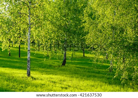 Amazing nature view of green forest and sunlight landscape at a day. Natural summer landscape of sunny fresh birch trees background at the middle of the spring or summer.  #421637530