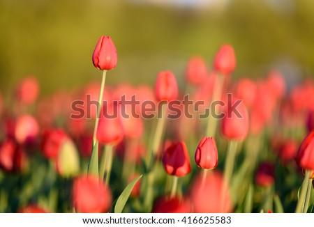 Amazing nature view of red tulips in garden & sunlight. Sunny nature. Nature flower & sun. Beautiful nature. Green nature. Nature life. Nature view. Great nature. Sunny nature.