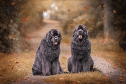Amazing newfoundland dogs in autumn