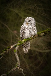 Amazing owl sitting calmly on a tree branch covered with green moss. Peaceful and lazy looking animal, yet dangerous bird of prey. Dark autumn forest atmosphere.