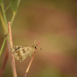 amazing picture of indian skipper ( spialia galba )butterfly resting in nature.
