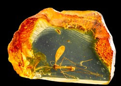 Amazing piece of Baltic amber containing part of an ancient fossilized mosquito. Photo with reflection, isolated on black background.