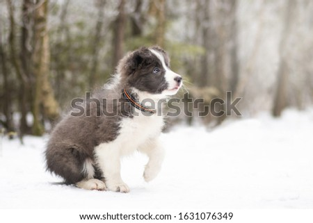 amazing portrait of young and happy sable border collie puppy in snow