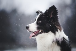 amazing portrait of young black and white border collie dog in snow