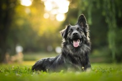 amazing portrait of young crossbreed dog (german shepherd) during sunset in grass