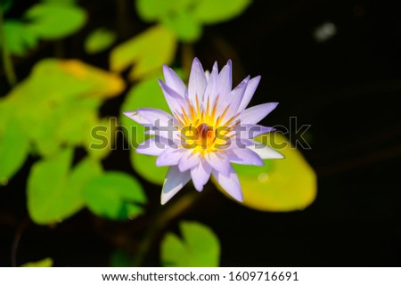 Amazing Purple Water Lilly at Sydney Royal Botanic Gardens