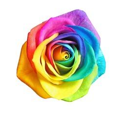Amazing rainbow rose flower on white background