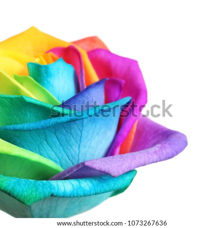 Stock Photo Amazing rainbow rose flower on white background