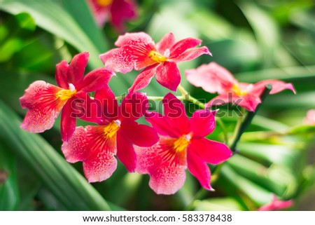 Amazing red and yellow Orchid with space for text. Beautiful flowers arrangement with green floral background. Orchids are amazing flowers and also elegant.