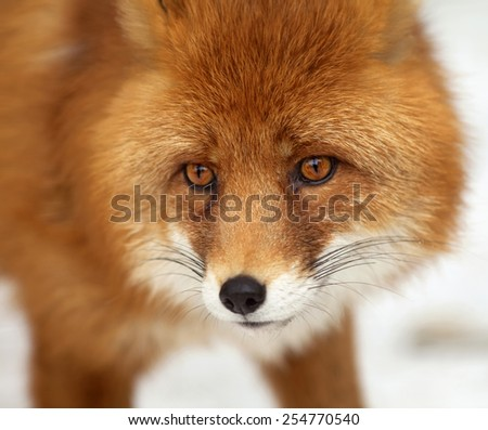 Amazing red fox male, vulpes vulpes, on white snow background. Excellent head of beautiful forest wild beast. Smart look of dodgy vulpes, skilled raptor and elegant animal. Cute and cuddly creature.  #254770540