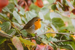 Amazing Robin bird with natural background.  Perfect image for: cute redbreast postcard, erithacus bird, close up of robin bird in forest habitat , etc.