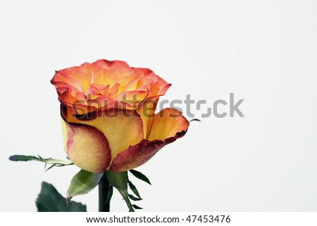 Amazing rose with great colors in white background