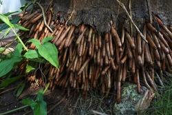Amazing Royal Palms Tree Dense Roots.