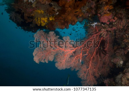 Amazing sea fan in the Ceram sea. Beautiful and colorful soft corals. Picture was taken in Raja Ampat, West Papua, Indonesia