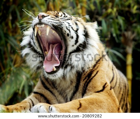 Amazing shot of tiger, roaring. Very wide mouth, mid-roar. - stock photo