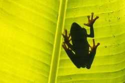 Amazing small cute frog sitting on a banana leaf. Silhouette of small animal, natural back light. Gorgeous with droplets of water. Beautiful natural shot. Typical exotic jungle forest.
