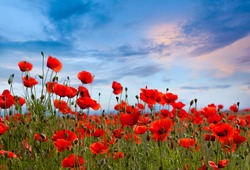 Amazing spring poppy field landscape against colorful sky and light clouds