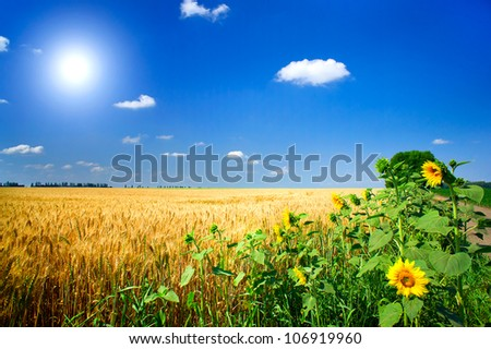 Amazing summer landscape with cereals field,sunflowers  and fun sun.