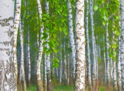 Amazing sunny morning in a birch grove.  Beautiful spring landscape.