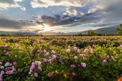 Amazing sunset over the pink rose valley in Bulgaria. Endless rows of rose bushes with a mountain range in the background.