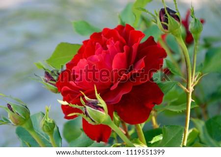 Amazing terry velvet red rose Nina Weibull in the garden close-up. Foto stock ©