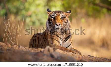 Amazing tiger in the nature habitat. Tiger pose during the golden light time. Wildlife scene with danger animal. Hot summer in India. Dry area with beautiful indian tiger. Panthera tigris.