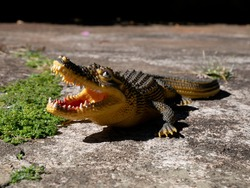 Amazing toy crocodile in the meadow. Natural light at a rubber alligator toy in nature.