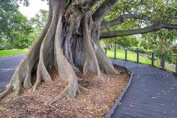 Amazing trees of Sydney, Australia.