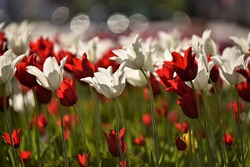 Amazing tulip flowers blooming in a tulip field