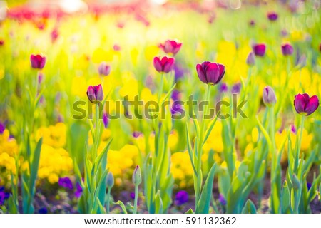 Amazing tulips. Closeup nature view of summer meadow