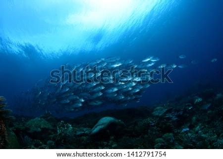 Amazing underwater world - Bigeye Trevally (Caranx sexfasciatus). A big school of fish. Diving, wide angle photography. Raja Ampat, Indonesia.  #1412791754