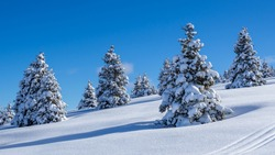 Amazing view of a group of isolated pine trees covered by fresh snow after snowfall. Alpine and winter contest. Wonderful landscape. Freedom and peaceful contest