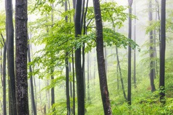 Amazing view of a morning fog in a spring forest, Balkan Mountains, Bulgaria