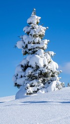 Amazing view of an isolated pine trees covered by fresh snow after snowfall. Alpine and winter contest. Wonderful landscape. Freedom and peaceful contest. Fabulous nature