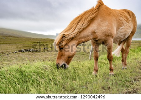 Amazing view of brown horse in rural farm grazing green grass in cloudy weather sky in Faroe Islands, North Atlantic, Europe hidden travel destination. #1290042496