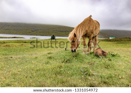 Amazing view of brown horse in rural farm grazing green grass in cloudy weather sky in Faroe Islands, North Atlantic, Europe hidden travel destination. #1331054972