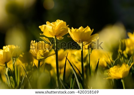 Amazing view of colorful yellow tulip flowering in the garden and green grass landscape under natural sunlight at sunny summer or spring day. Close up spring tulip flowers background in morning nature