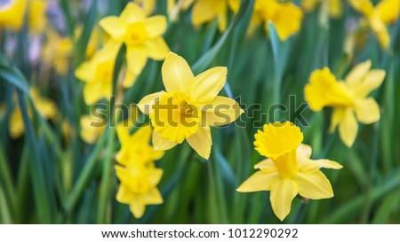 amazing yellow daffodils flower ...