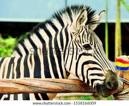 Amazing zebra facts. The most amazing facts about these zebra striped African mammals are interesting creatures and have lots of fun facts for you! Zebras are closely related to horses. #1558166009
