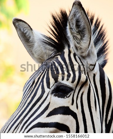Amazing zebra facts. The most amazing facts about these zebra striped African mammals are interesting creatures and have lots of fun facts for you! Zebras are closely related to horses. #1558166012