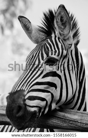 Amazing zebra facts. The most amazing facts about these zebra striped African mammals are interesting creatures and have lots of fun facts for you! Zebras are closely related to horses. #1558166015