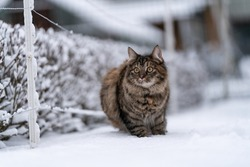 Amazingly cute fluffy kitten taking a walk outside on and amazing snowy winter day. Count lovely cat first time outside enjoying the first decent snow. Brave little furry cat taking a walk.Very fluffy