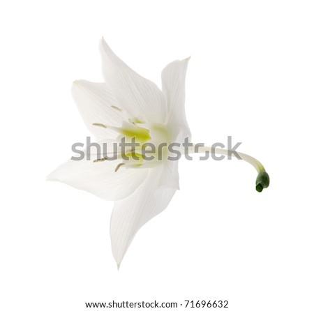 Amazon lily flower on the white background (Eucharis grandiflora)