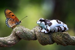 Amazon milk frog on branch, two amazon milk frog, panda tree frog, closeup tree frog