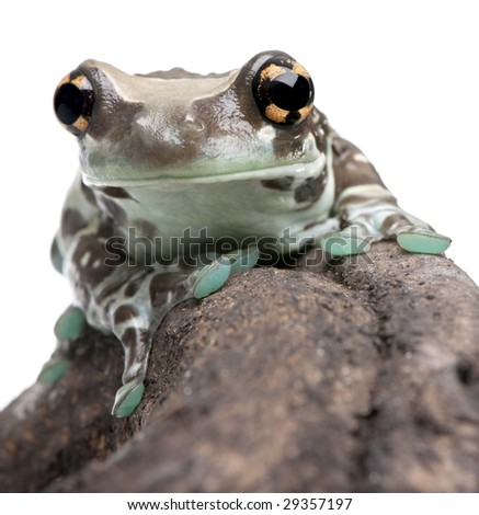 Amazon Milk Frog - Trachycephalus resinifictrix in front of a white background in front of a white background