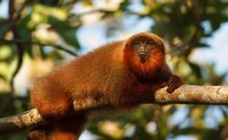 Amazon monkey in Tambopata national Park, Peru.