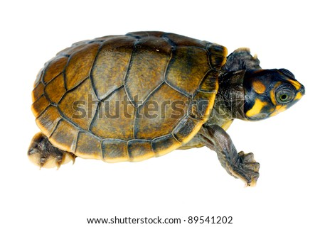 Amazon River Turtle hatchling (Podocnemis unifilis)