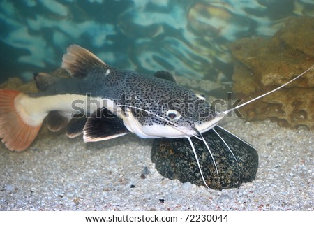amazon sheatfish actocephalus nemioliopterus in aquarium with stone