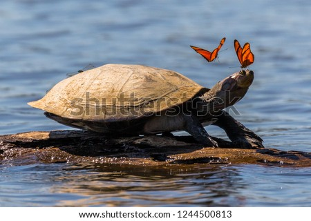 Amazon side-necked turtle (podocnemis) with butterflies. Tambopata, Sandoval Lake, Amazonia, Peru.