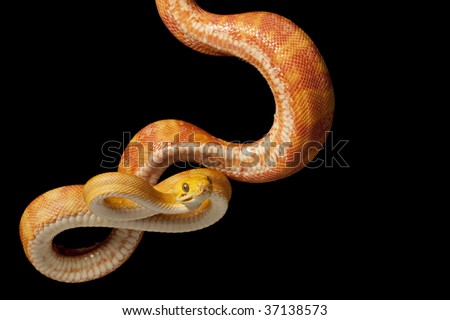 Amazon tree boa (Corallus hortulanus) isolated on black background.